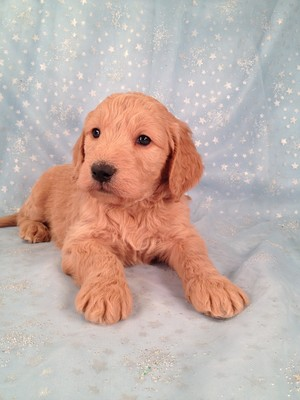 Goldendoodle puppy for sale, Male Born Nov.20th #16|Goldendoodle Breeders Selling Goldendoodles for less Than most Goldendoodle breeders in Fort Lauderdale, FL.