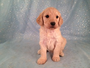 Female Goldendoodle Puppy for sale #17|Goldendoodle Breeders Who sell Goldendoodles for Less than Most Goldendoodle Breeders in Washington DC do.