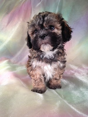 Teddy Bear Puppies Black And White Puppy id: 784