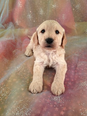 Goldendoodle Puppies for sale In Boston MA run twice the Price of Purebredpups| Male Goldendoodle Puppy for sale #19 Ready January 2013