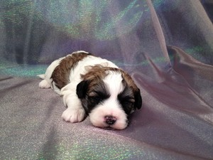 Male Shih tzu bichon #2|Teddy bears for sale at lower prices than most teddy bear Breeders in Florida and New Jersey