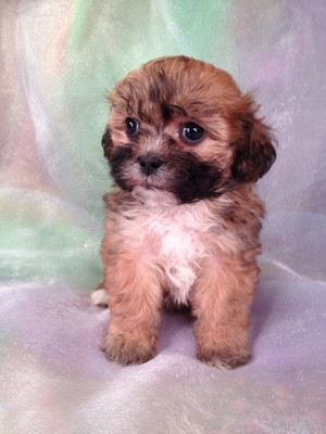 Female teddy Bear puppy for sale #11|Teddy bears for sale at about half the price breeders in Fort Lauderdale Florida Charge