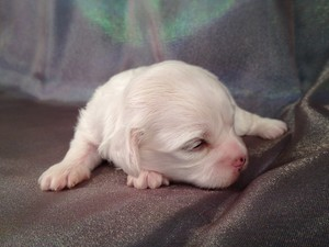 Female Shih tzu Bichon Puppy for sale #9 Born Jan. 1st 2013 Ready Feb. 28th 2013|Shipping $150 to most large airports Like Charlotte NC