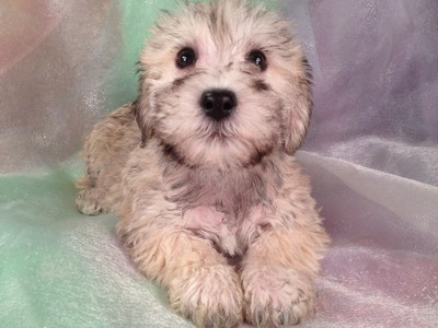 Schnoodle%20Puppy%20for%20sale,Schnoodle%20Breeeders%20in,Schnoodles ...