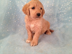 Female Goldendoodle for sale #18 Ready January 2013|Goldendoodle Puppies Priced lower than Most Goldendoodle Puppies for sale in Providence RI