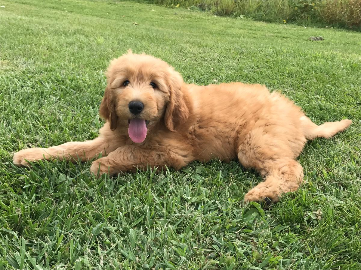 Apricot puppies for sale,Goldens