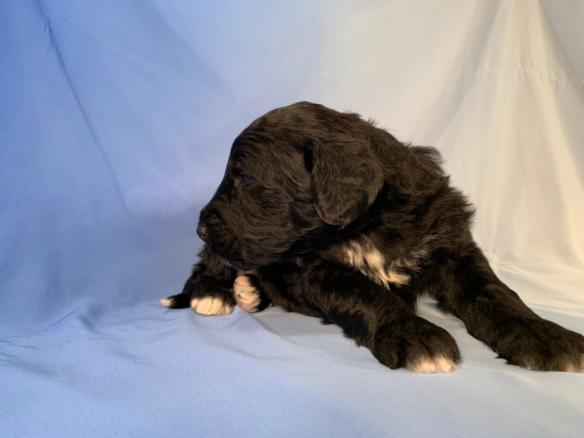 Bernedoodle Pup for Sale