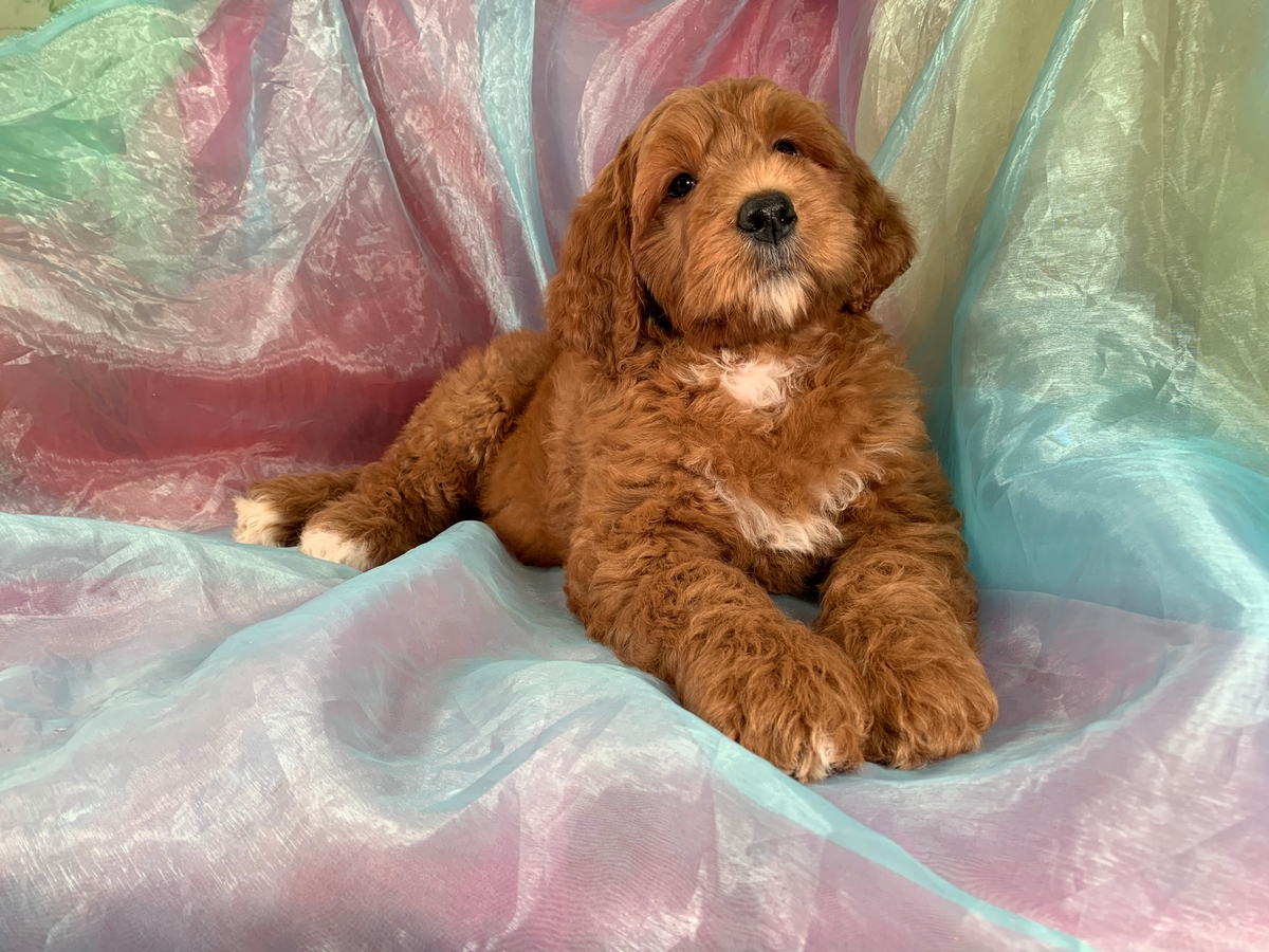 Female Standard Bernedoodle Puppy, DOB 8-23-2019, Ready Now!