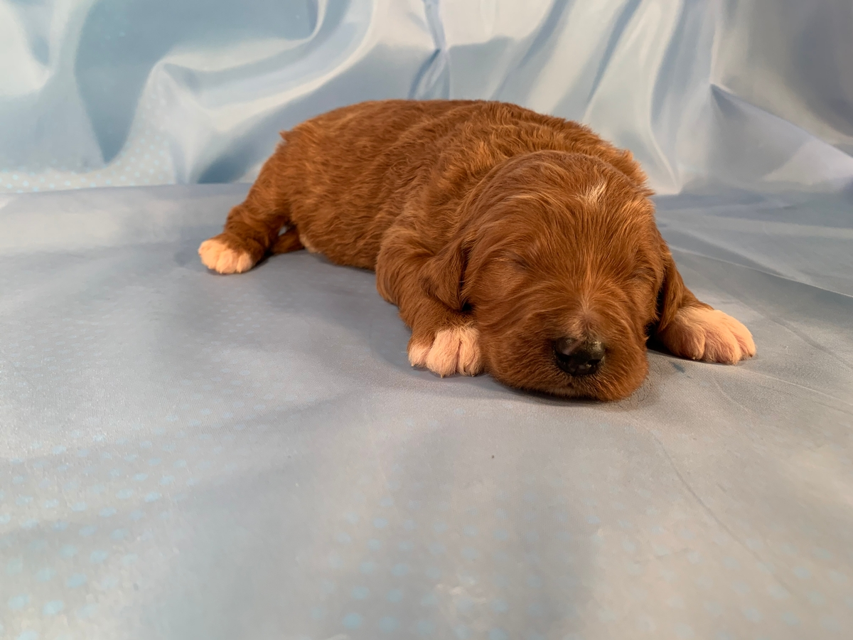 Dark Red Male Bernedoodle Puppy For Sale, Iowa Dog Breeders