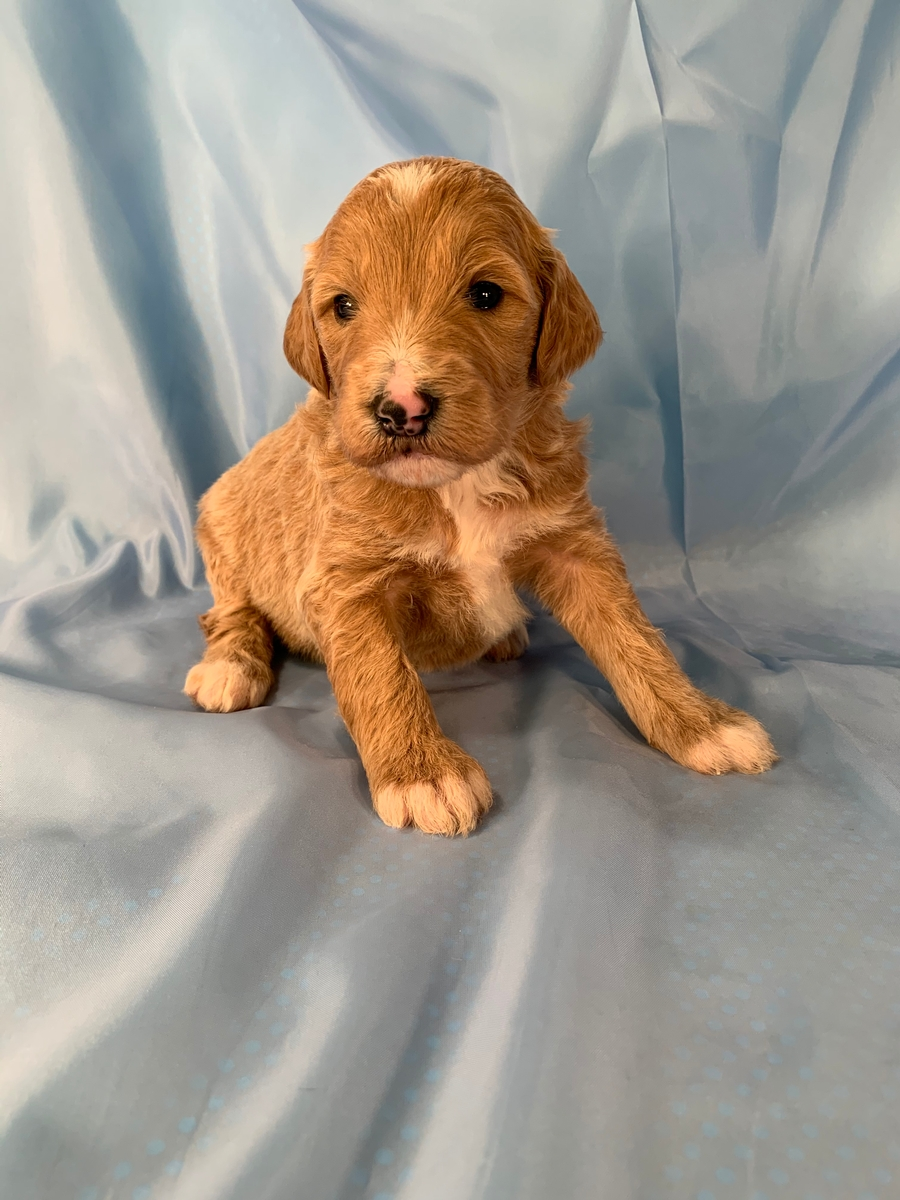 F1 Apricot and White Female Bernedoodle Puppy For Sale