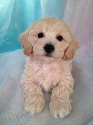 Male Cream Bichon Poodle Puppy for sale DOB 10-5-15 $875