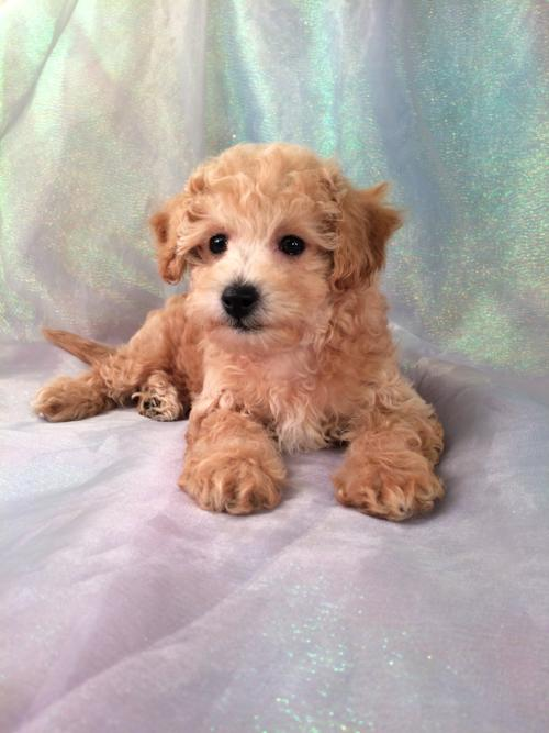 Apricot Bichon Poodle Puppy Iowa Breeder For Over 23 Years