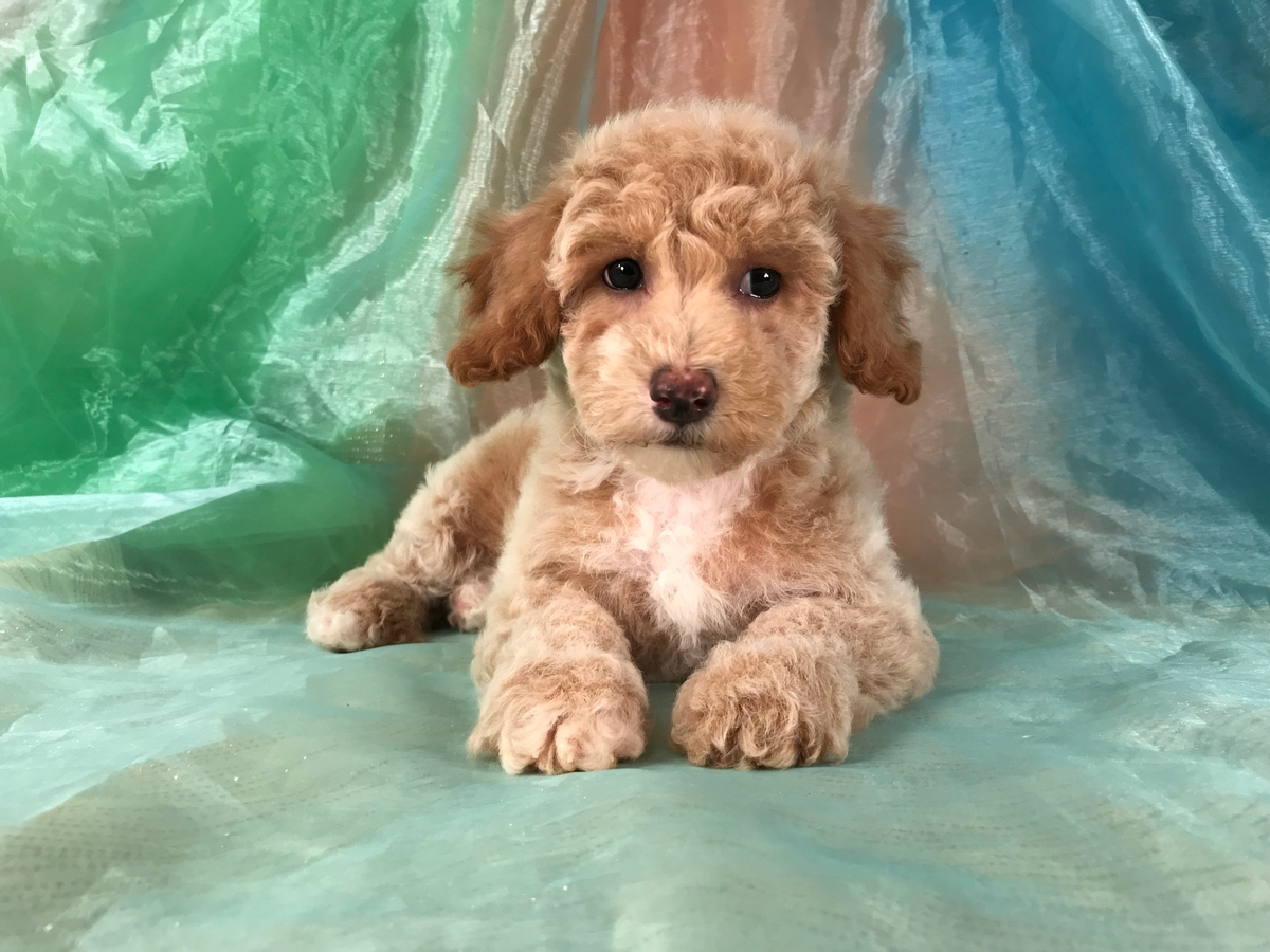 Poochon Puppy for Sale, Iowa Breeders, Male, $975