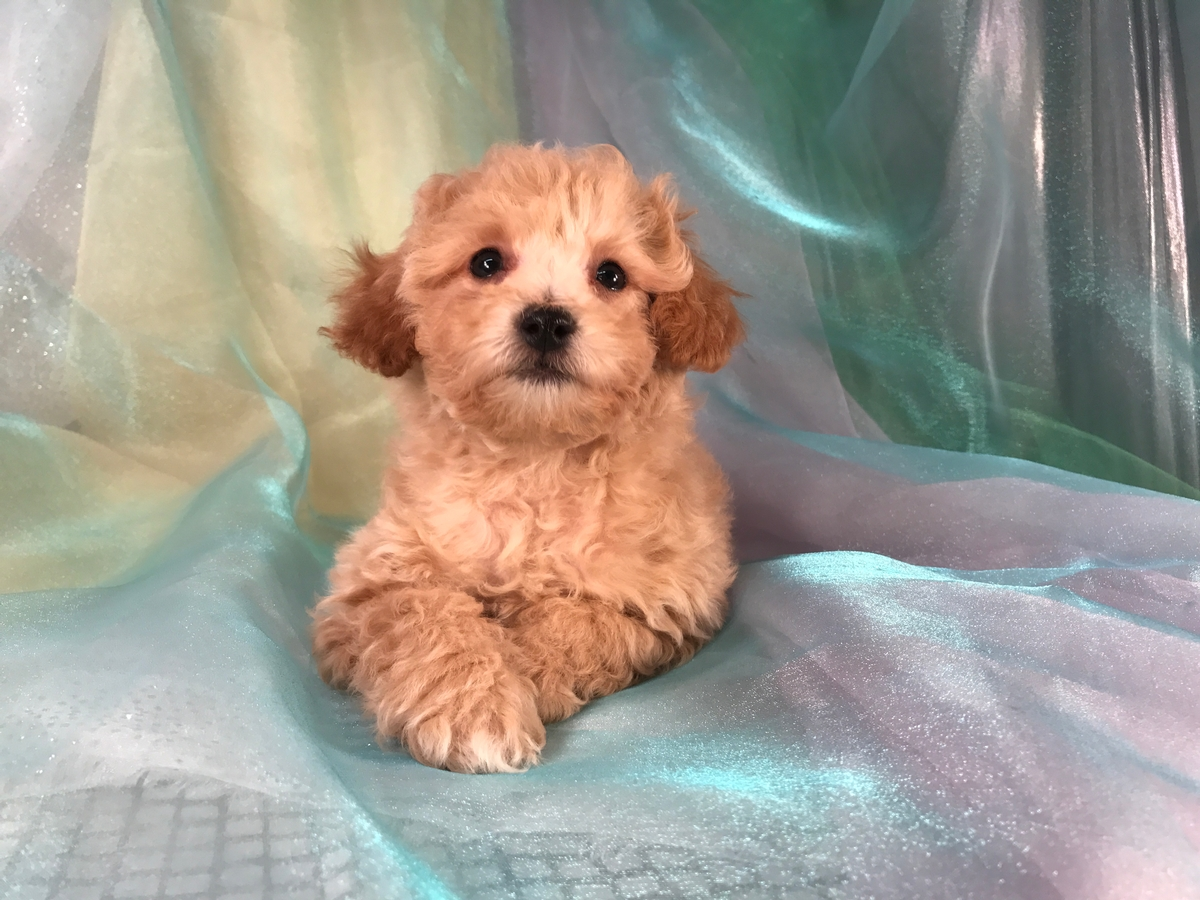 Professional Bichon Poodle Breeders Located Near The Small Town Of Joice 50446.
