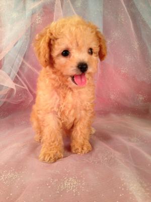 Bichon Poodle Puppies for Sale