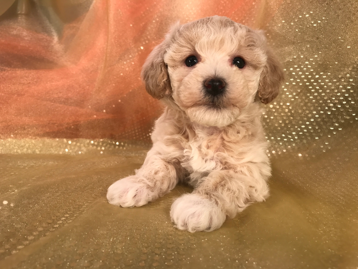Male Bichon Poodle Puppy for Sale $975