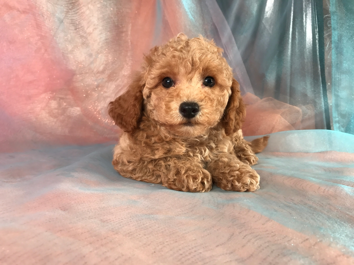 Bichon Poodle Puppies for Sale, Iowa Breeders