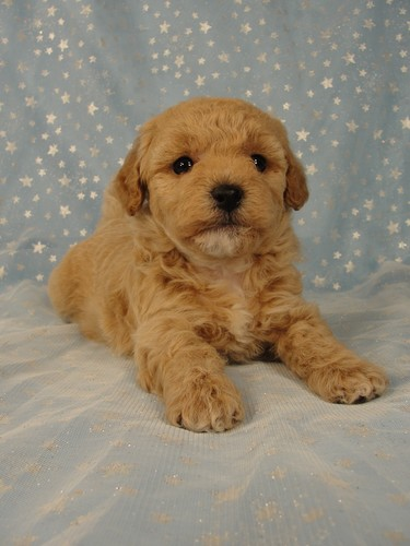 Female puppies Bichon poos Bichon poodle puppy for sale #4 Born September 6, 2011 6