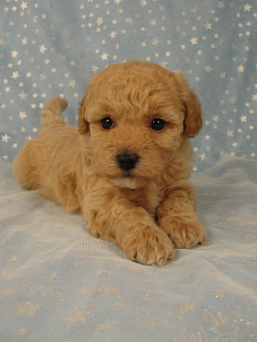 Female puppies Bichon poos Bichon poodle puppy for sale #4 Born September 6, 2011 5