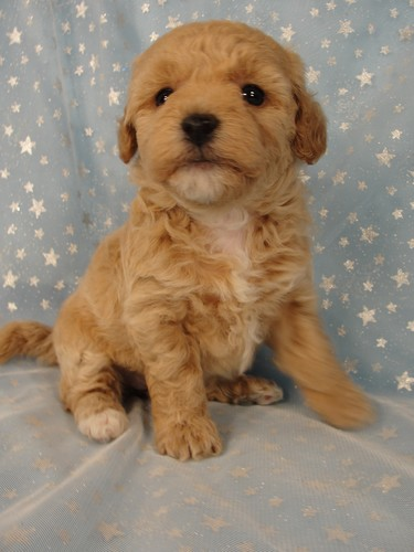 Female puppies Bichon poos Bichon poodle puppy for sale #4 Born September 6, 2011 2