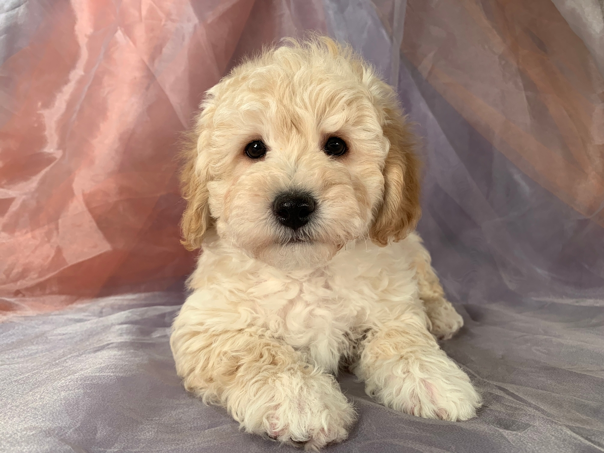 Male Bichon Poodle DOB 12-11-2019 $975 Ready Now!