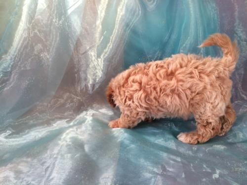 Side shot of a Bichon Poodle puppy