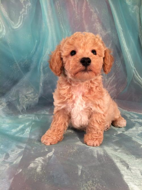 Pup for sale in North Iowa, Bichon Poodle