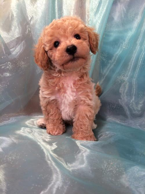 Male Apricot Bichon Poodle Puppy for Sale DOB 1-22-2016 $875