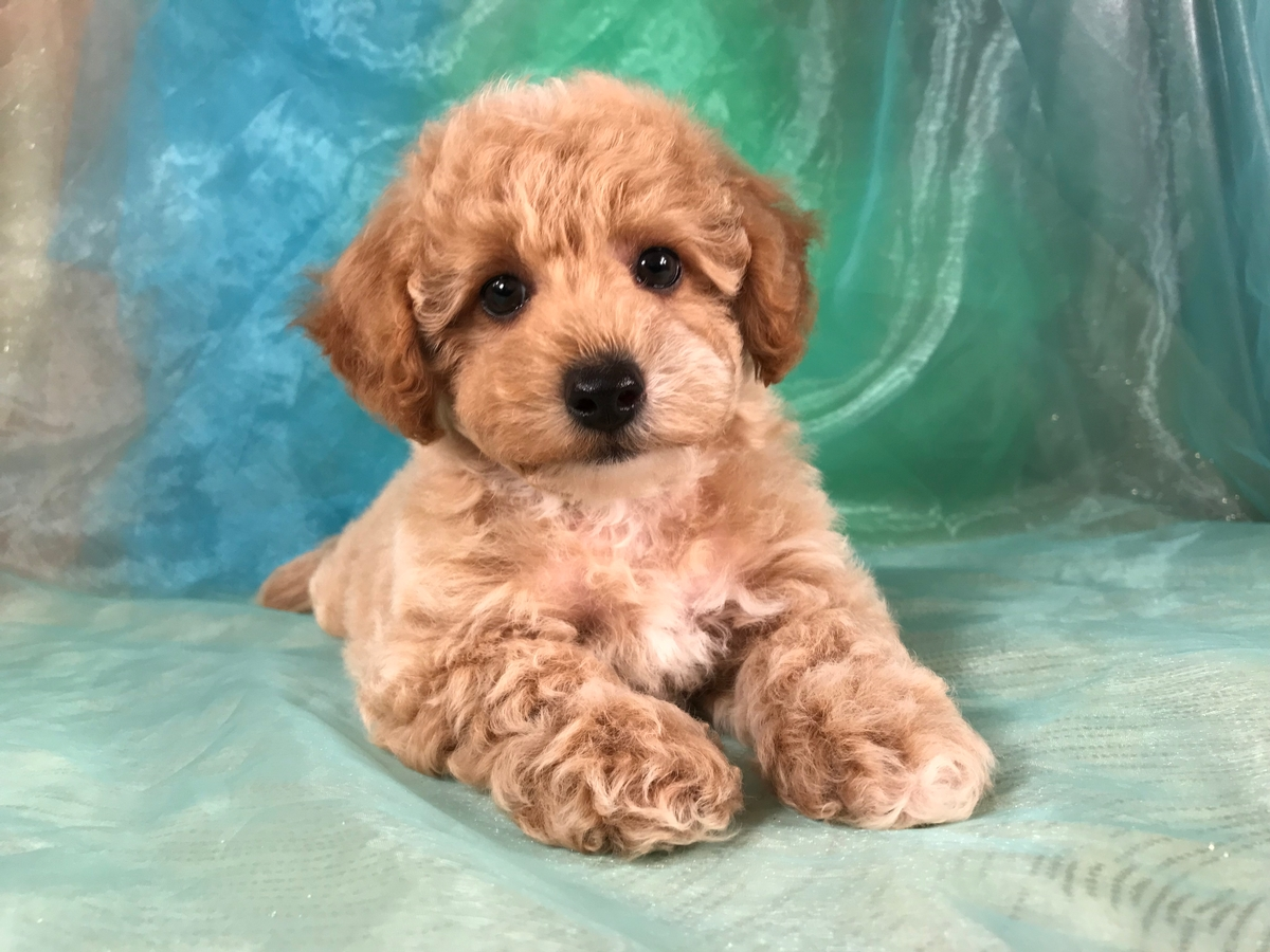Male Poodle Bichon Puppy for Sale $975