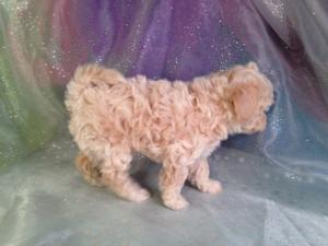 Female Bichon Poodle Puppy for sale #4 DOB 10-23-14 Professional Breeders 3