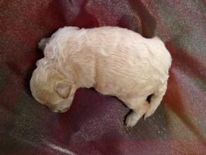Male Poodle Bichon Puppy for sale #2 Born 10-25-13 Bichon poos for sale can be shipped for $150 into Boston, Baltimore, Philadelphia, Providence, Newark, Washington DC and Many other large cities!