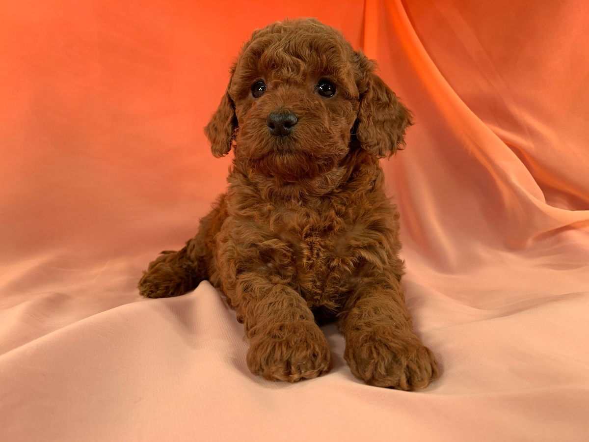 Dark Red F1b Female Bichon Poodle Puppy for Sale DOB 1-9-2020