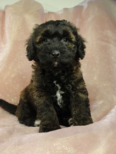 Male Bichon Poodle Puppy for sale # 7 Born September 20, 2011 2