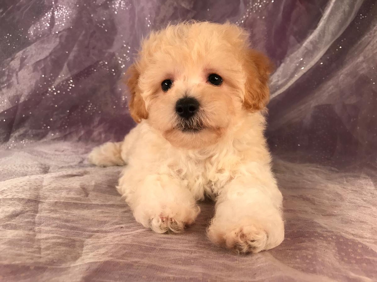 Ready Now! Bichon Poo puppies for sale! 2