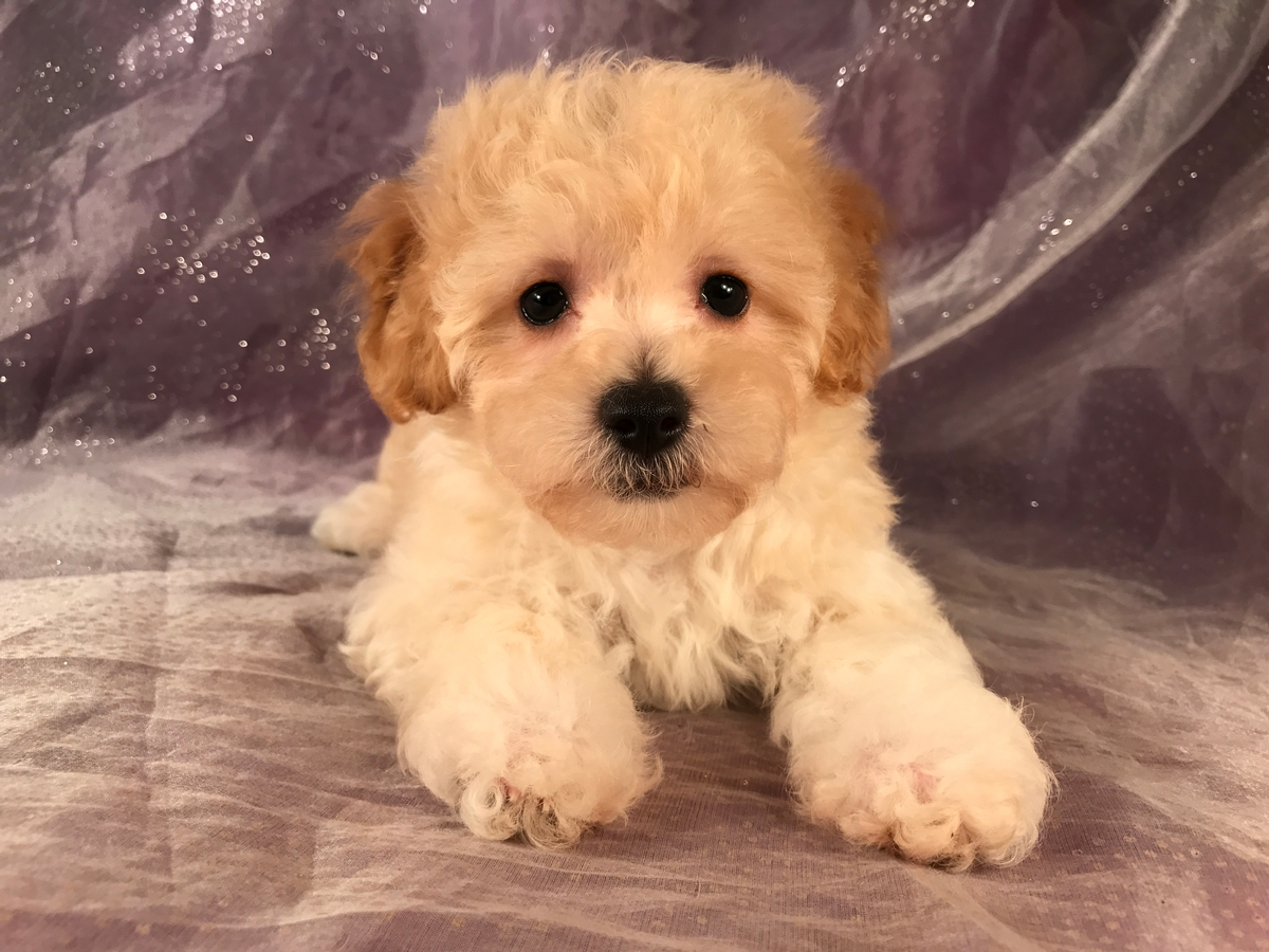 Ready Now! Bichon Poo puppies for sale!