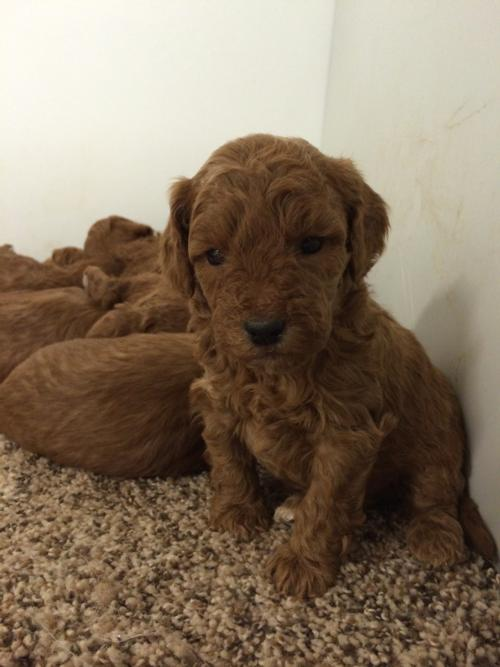 Dark Red Bichon Poodle Litter