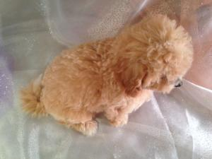Female Bichon poo puppy for sale born 7-16-15 $875 2