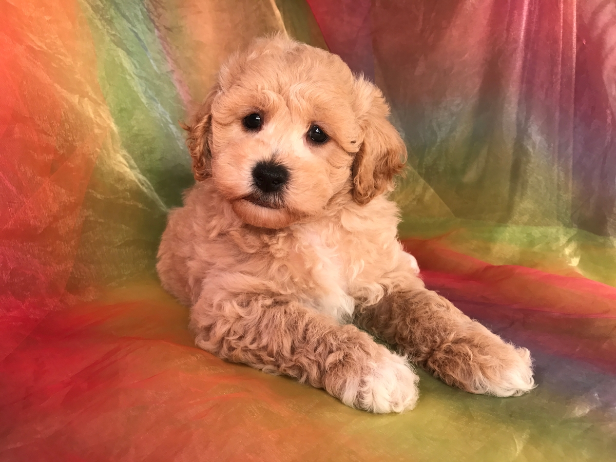 Buff and White, Male, Bichon Poodle Puppy for Sale