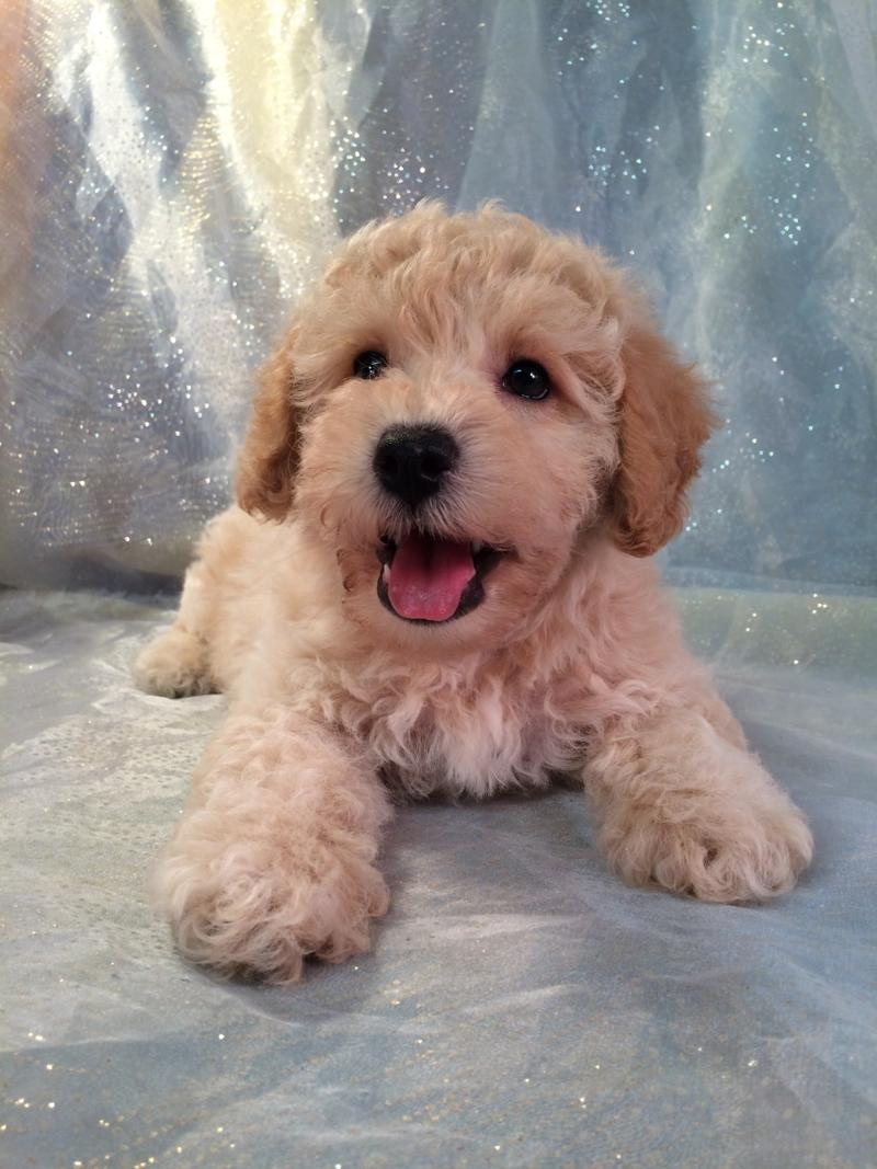 Bichon poodle Pups for sale in Iowa