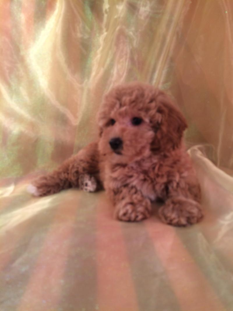 Bichon Poodle puppies for sale