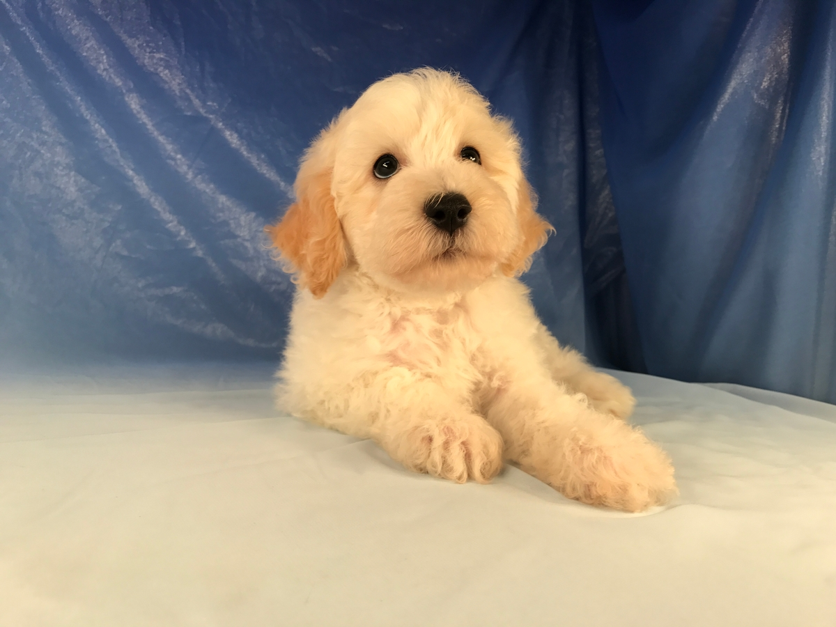 Iowa Breeders-Poodle Bichon Mix Breed Puppy for Sale $975