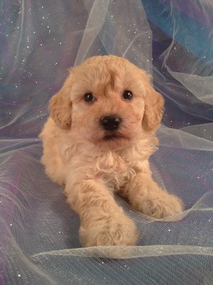 Male Bichon Poodle Puppy for sale #1|Bichon Poo Breeder Located Near the Iowa Minnesota Border with Bichon Poodle Puppies for sale