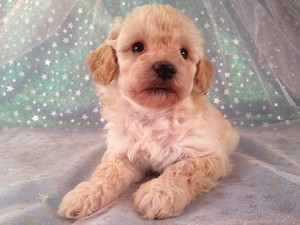 Female Bichon Poo Puppy for sale #5 Born February 5th 2013|Bichon and Poodle Breeders from Illinois and Wisconsin are welcome!