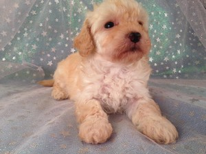 Bichon Poodle Puppies for sale|By Bichon poo Breeders in IA|Female Bichon Poo #6 Born Feb. 5th 2013