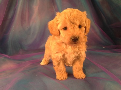 Poodle Puppies As far as something Sale In Illinois