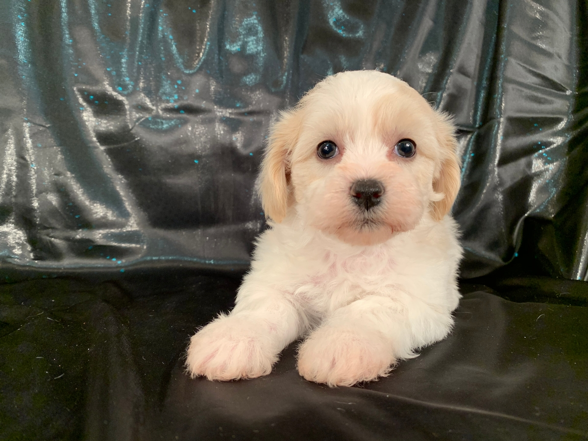 Female Apricot and White Teddy Bear Puppy for Sale $875