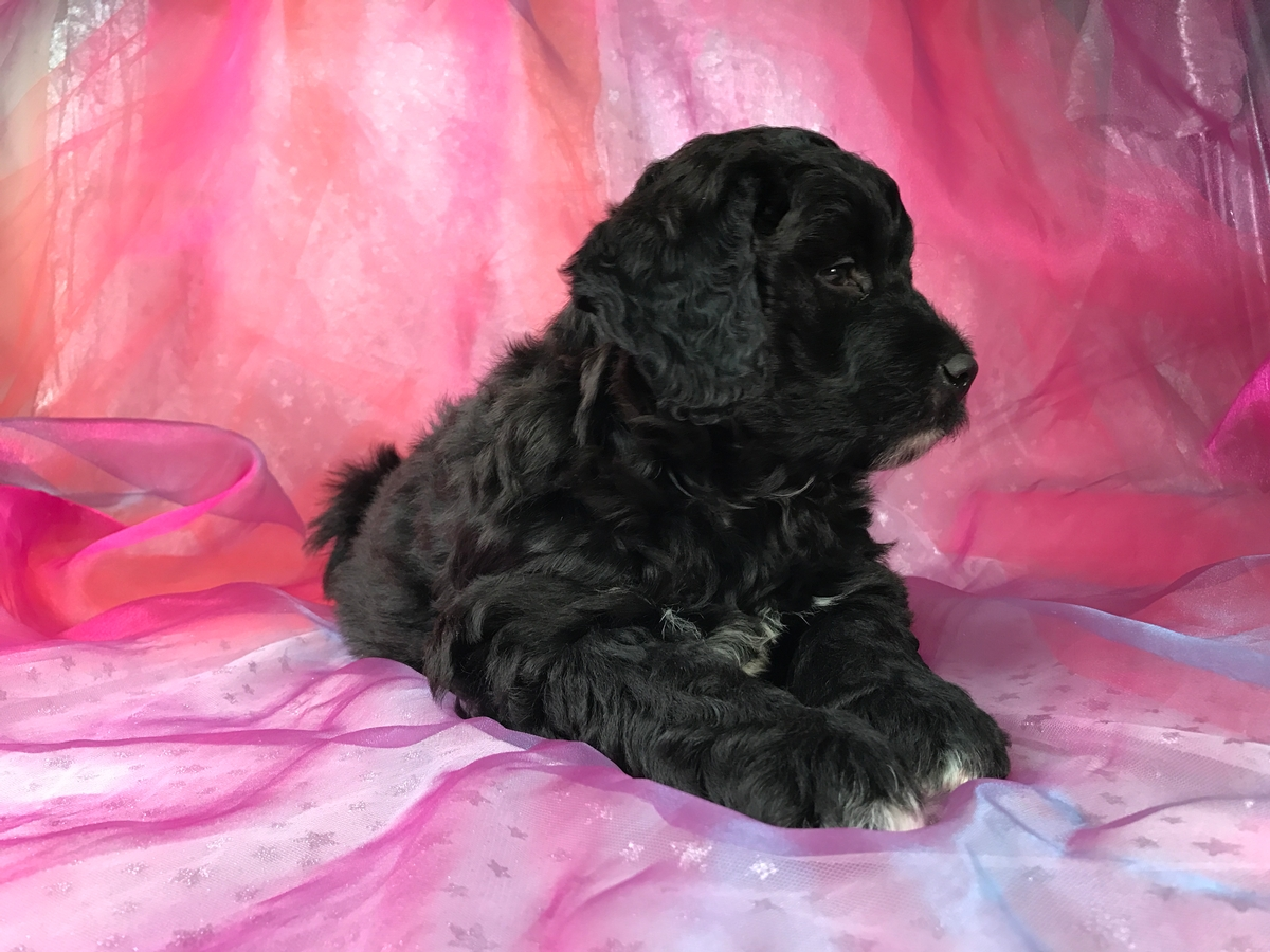 Black Male Miniature Bernedoodle Puppy For Sale Iowa Breeders