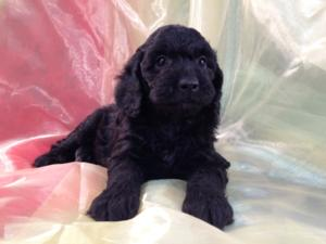 All Black Female Mini Goldendoodle Puppy for Sale DOB 9-7-15 2