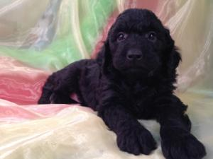All Black Female Mini Goldendoodle Puppy for Sale DOB 9-7-15 3