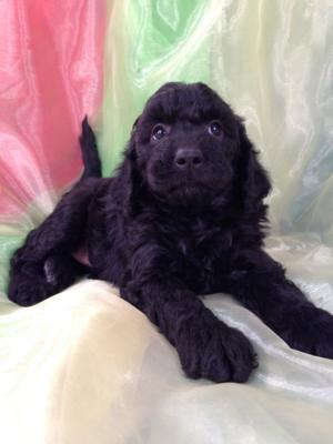 All Black Female Mini Goldendoodle Puppy for Sale DOB 9-7-15 4
